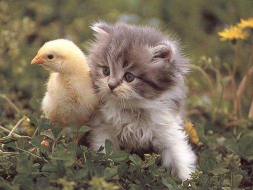 kitten-duck