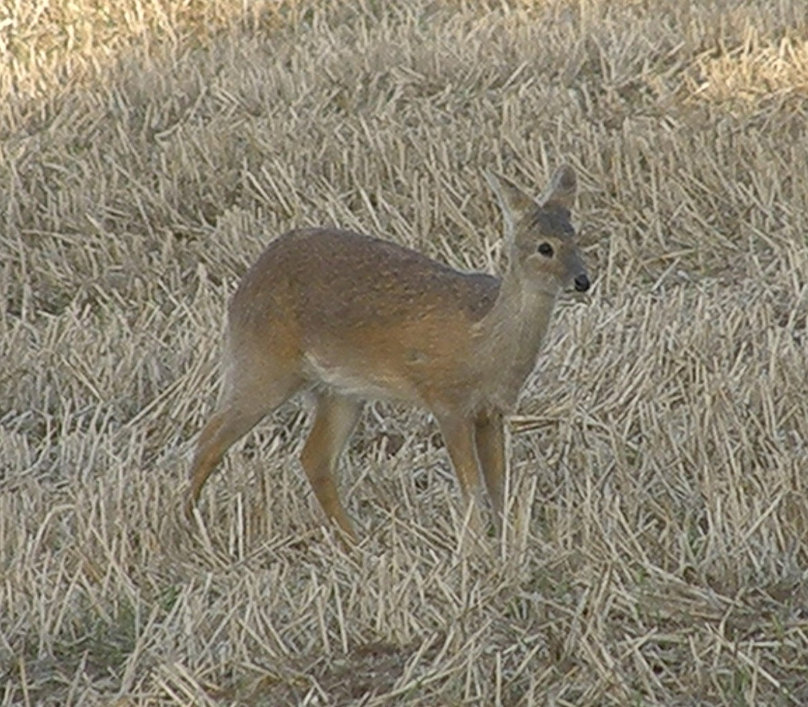 Chinese Water Deer in Bedfordshire