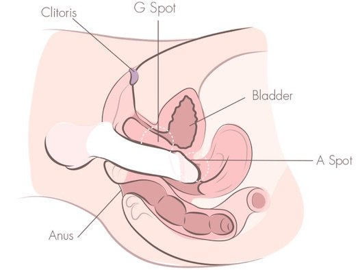 Deep Penetration G Spot A Spot Cross Section Vagina Illustration