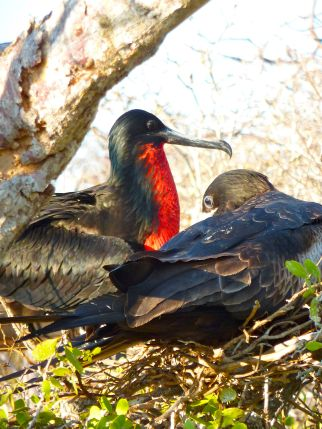 Male and female magnificent frigate bird