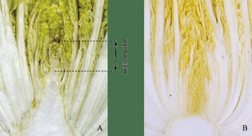 bolting cabbage compare to non bolting