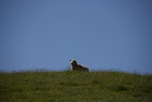 A lonely sheep