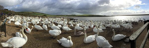Swan Panorama