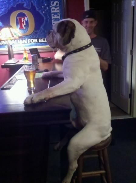 bulldog-at-the-bar-448x600