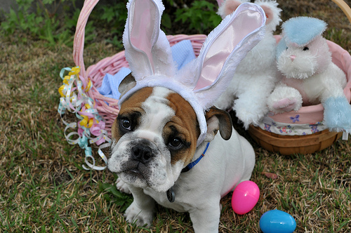 easter-bulldog-face-wallpaper