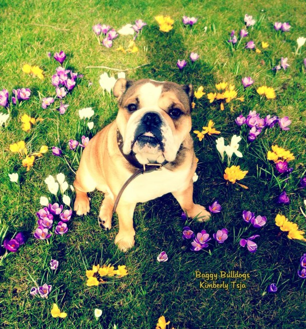Dangerous Plants For Dogs Archives Baggy Bulldogs