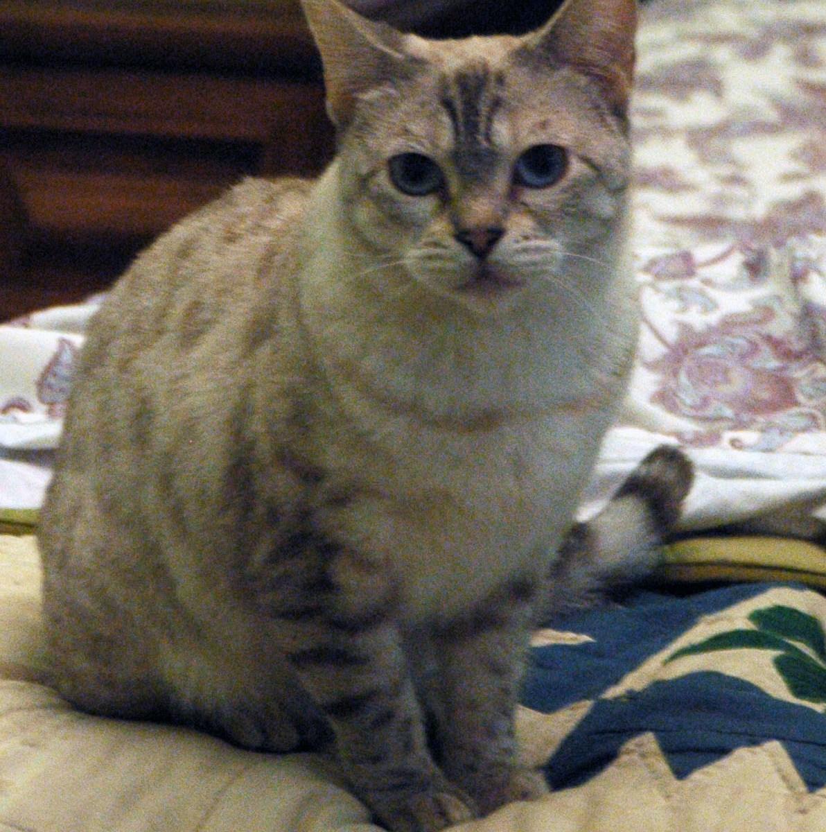 Bagheera the Diabetic Cat's Visitor Marley