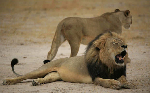 Cecil The Lion Must Get Justice