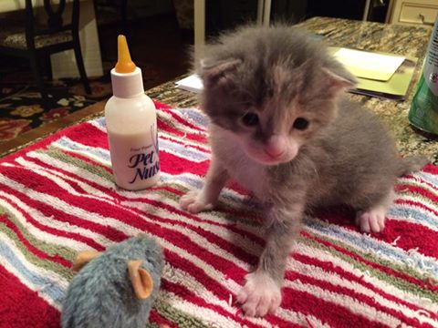 Tiny Feline Loa Is Being Helped By Michigan Cat Rescue