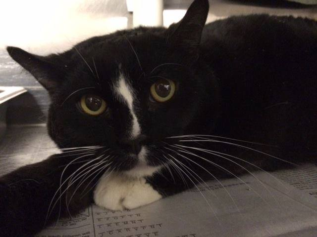 Diabetic Cat Wallace Is Looking for a Home