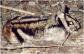 kelinci-belang-sumatera-nesolagus-netscheri