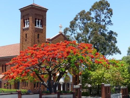 Poinciana tree Brisbane