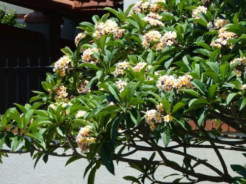 Frangipani tree Brisbane