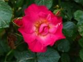 Rose Barni