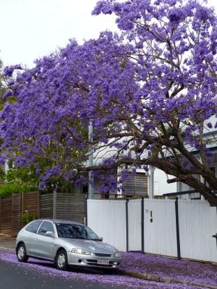 Jacarandas in Brisbane