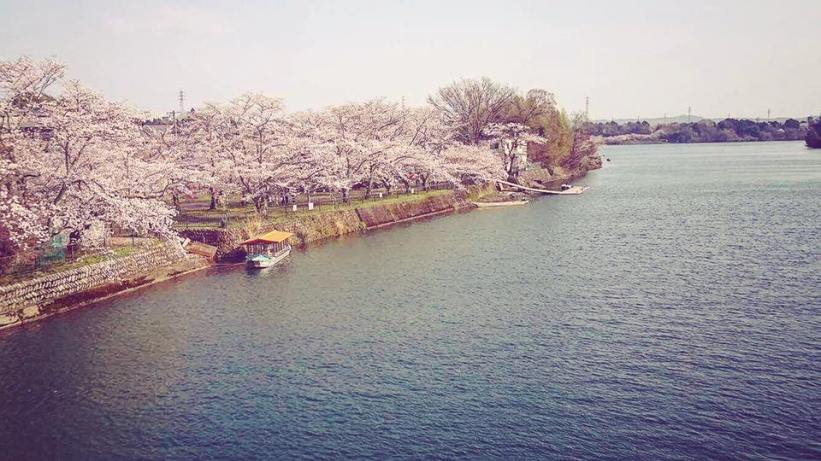 sakura2017_minokamo04