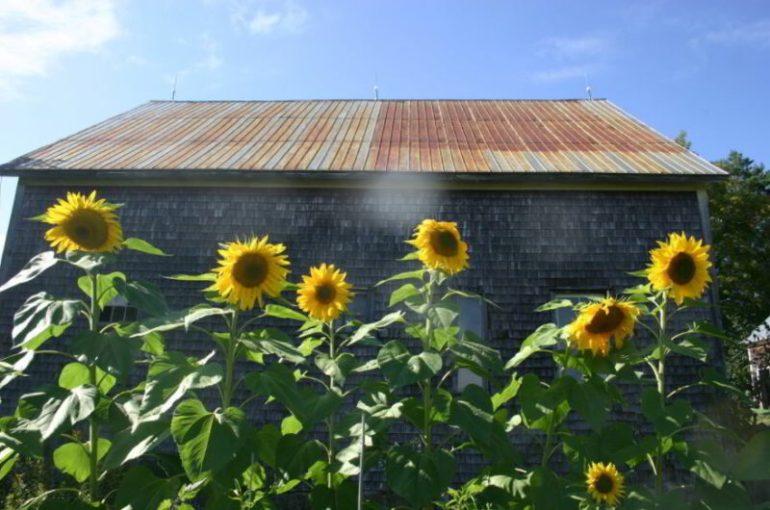 types of sunflower seeds
