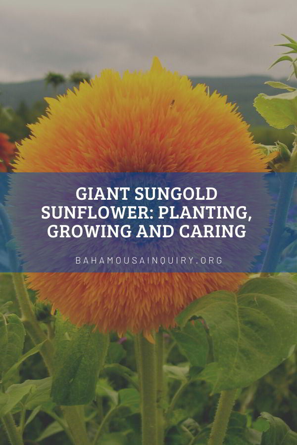 giant sungold sunflowers