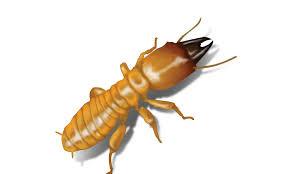 Gunakan obat anti rayap terbaik untuk basmi serangga ini.
