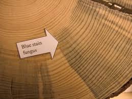 Penampakan salah satu jenis jamur blue stain pada kayu.