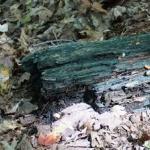 jamur blue stain