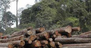 penebangan pohon 1