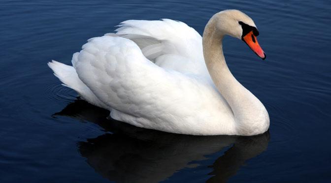 Un cisne para decir muchas gracias