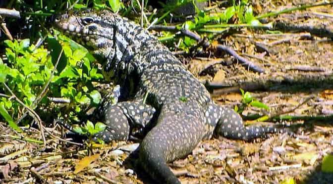 Un lagarto overo en la reserva ecológica de Vicente López
