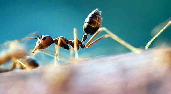 Hormigas argentinas que conquistan el mundo