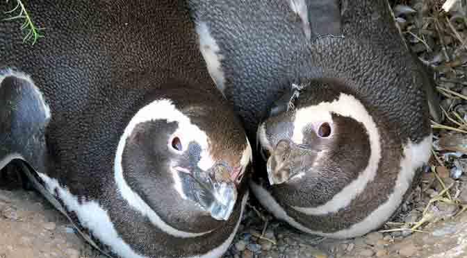 Sensores electrónicos argentinos escriben el diario de un pingüino
