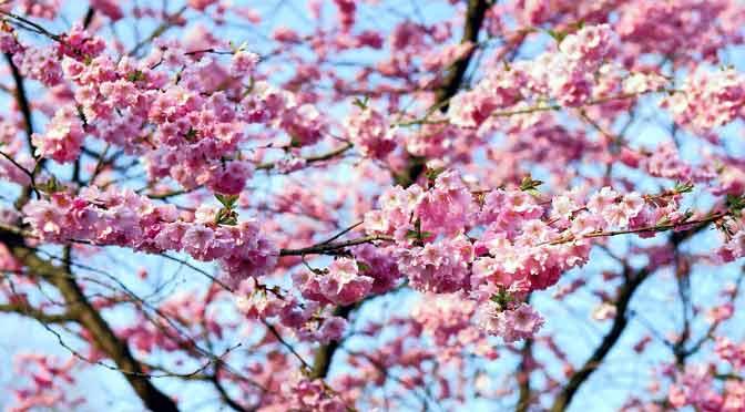 Los maravillosos cerezos en flor de Japón abren el tiempo del «hanami»
