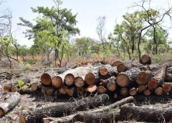 pimpri-fruit-trees-worth-rs-25-lakh-were-cut-down-and-sold/