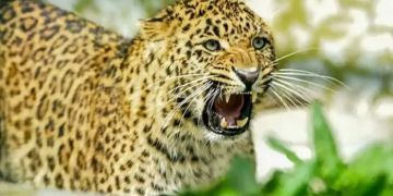 pune news leopard in hadapsar of pune attack on two youth who went for morning walk