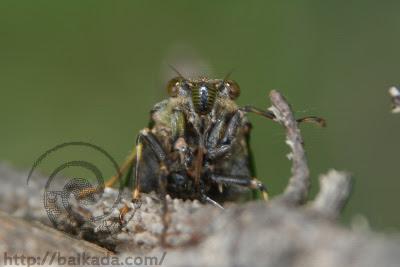 Longhorn beetle ?