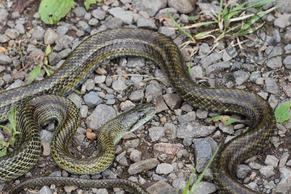 ヘビの調査