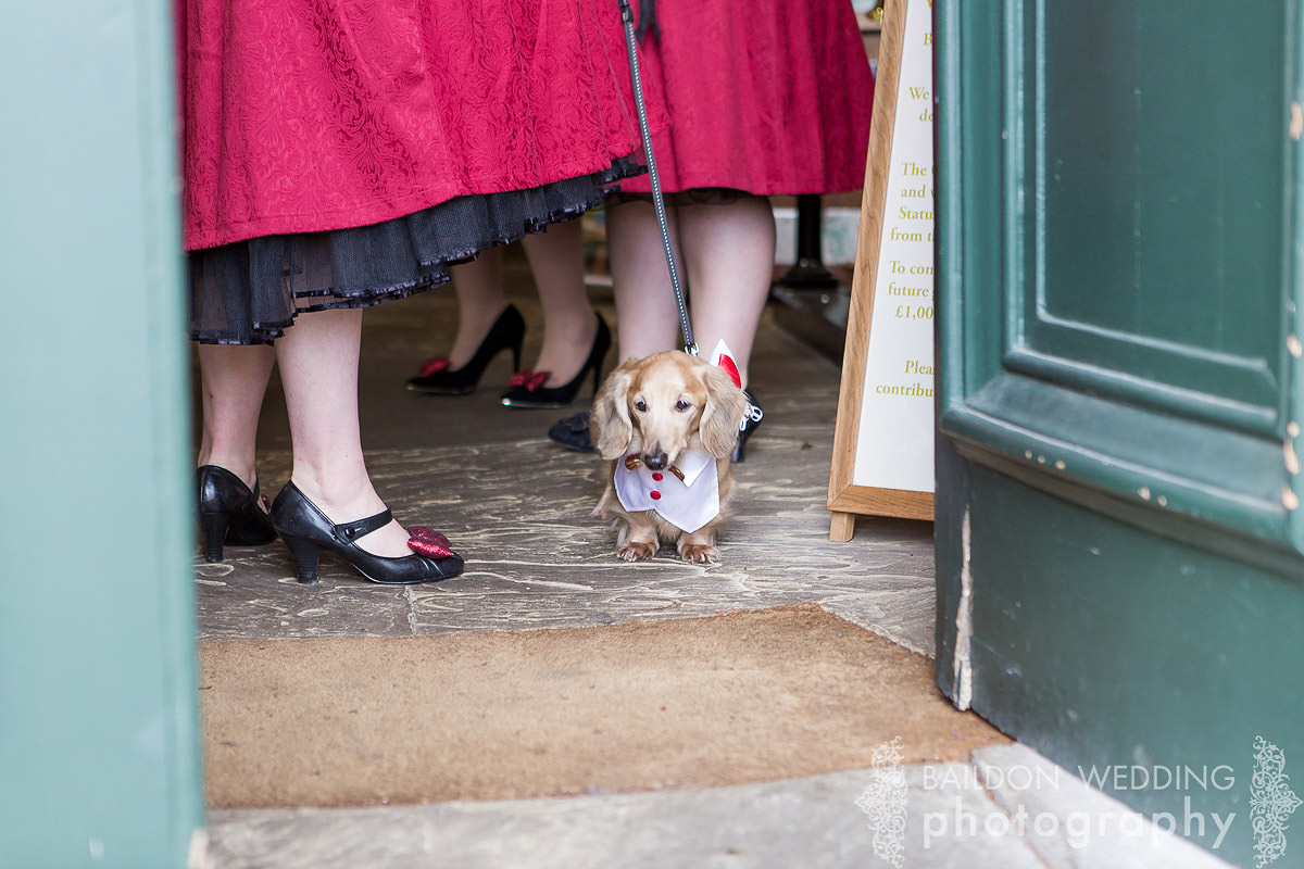 dog sausage dog dachshund long haired wedding