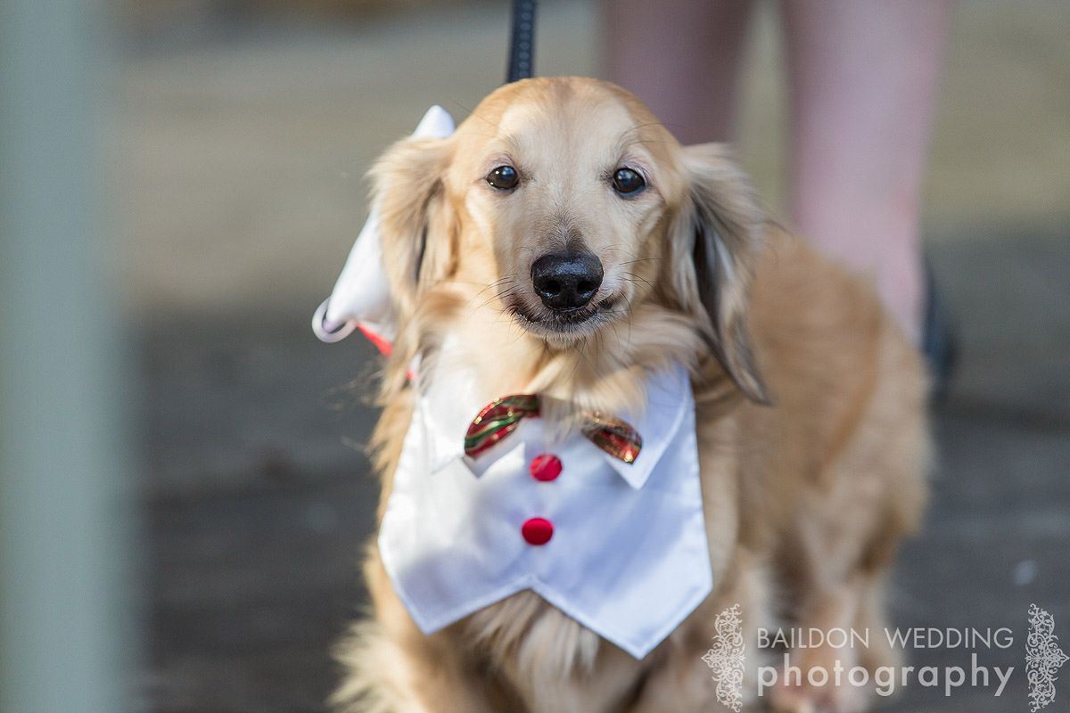 sausage dog in wedding outfit costume