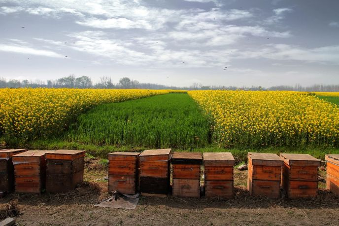 Bee hives with a field of yellow blooms