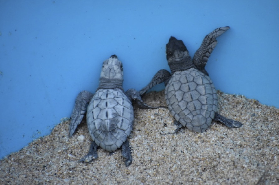 TurtleHatchlings