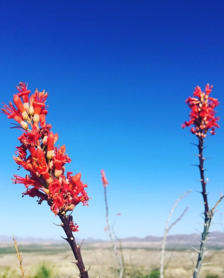 Flowers of the Ocotillo Tree