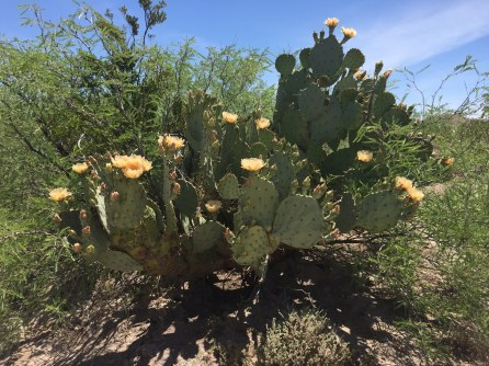 Prickly Pear Cactus in bloom at Big Bend National Park