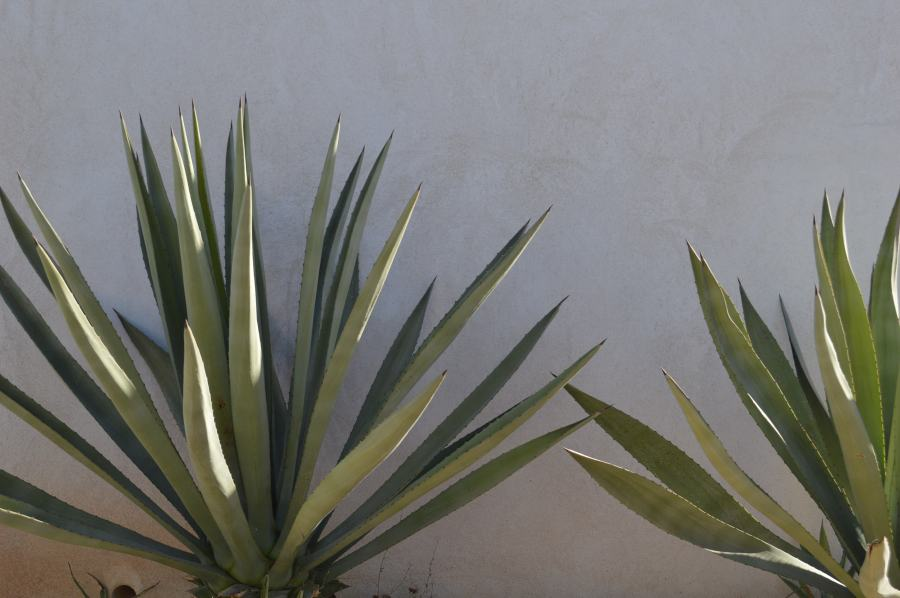 two agave plants against a concrete wall
