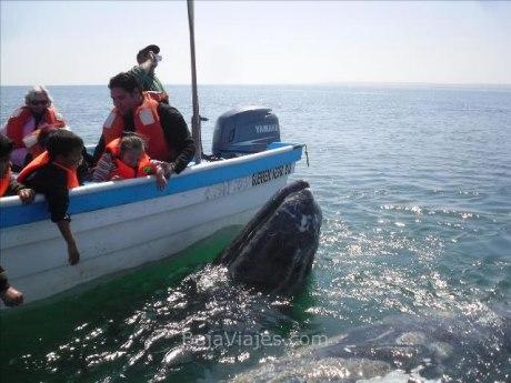 Las ballenas se acercan a las lanchas en los paseos de avistamiento de ballenas, en Guerrero Negro.