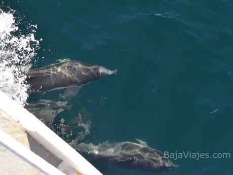 Avistamiento de Delfines en la Bahía de Ensenada