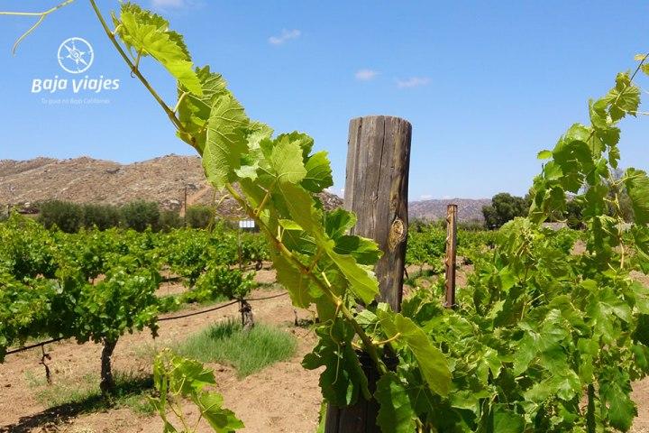Vinedos en Vinos Fuentes, durante el Tour al Valle de Guadalupe