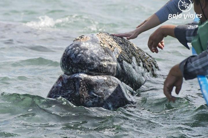 Encuentro amistoso con ballena gris, durante el tour de avistamiento de ballenas en Guerrero Negro, Baja California Sur.