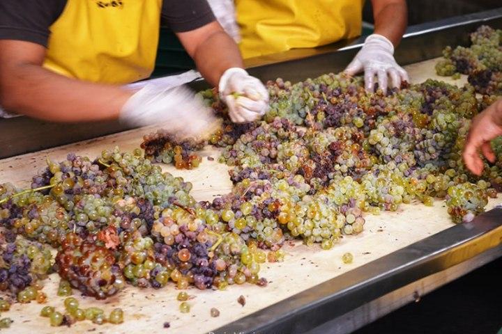Seleccion de uva durante la época de la Vendimia, en la Ruta del Vino, Ensenada, Baja California.