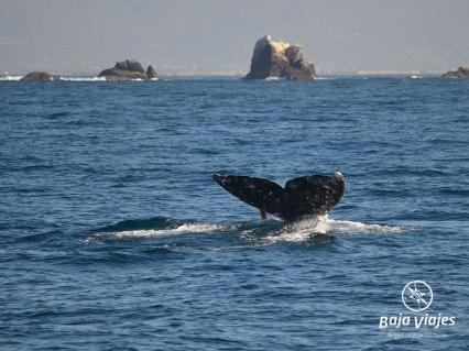 Avistamiento de Ballenas en Ensenada, Baja California