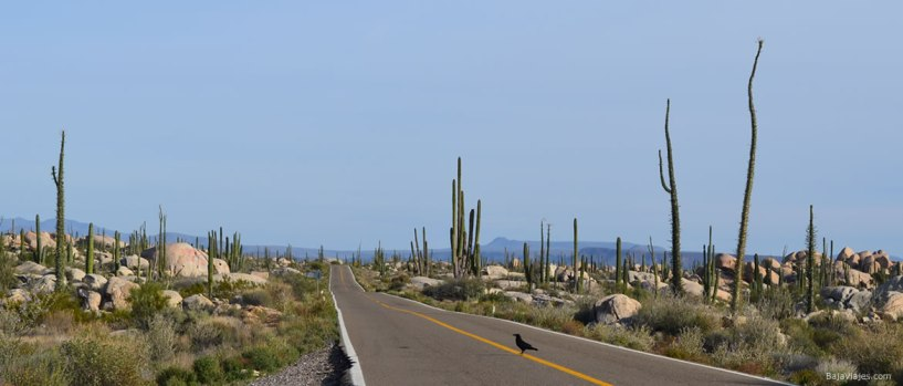 cuervo-baja-california-viajes-valle-cirios-1170x500