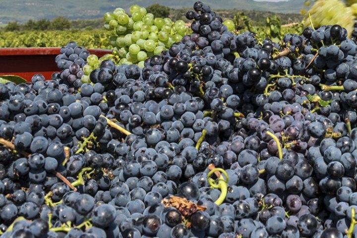 vendimia-uvas-ruta-del-vino-1170x500